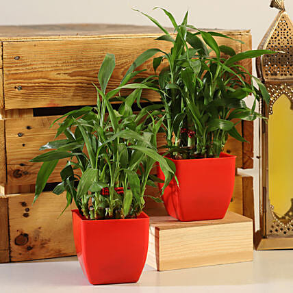 2 Layer Bamboo Plant Red Pot Combo