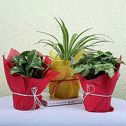Money, spider and syngonium green plants in plastic pots
