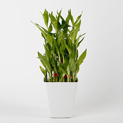bamboo plant in white vase