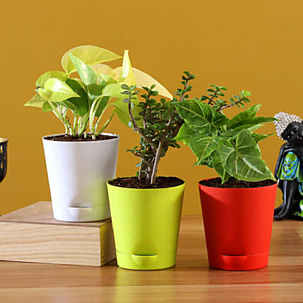 Online  Plants With Multicoloured Pots:Buy Indoor Plants