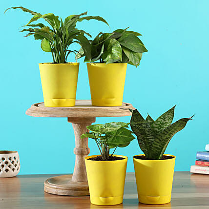 Buy Plants With Yellow Pots
