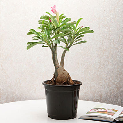 Adenium desert rose plant in a vase:Ornamental Plants