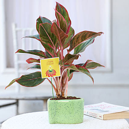 attractive plant in green pot for diwali