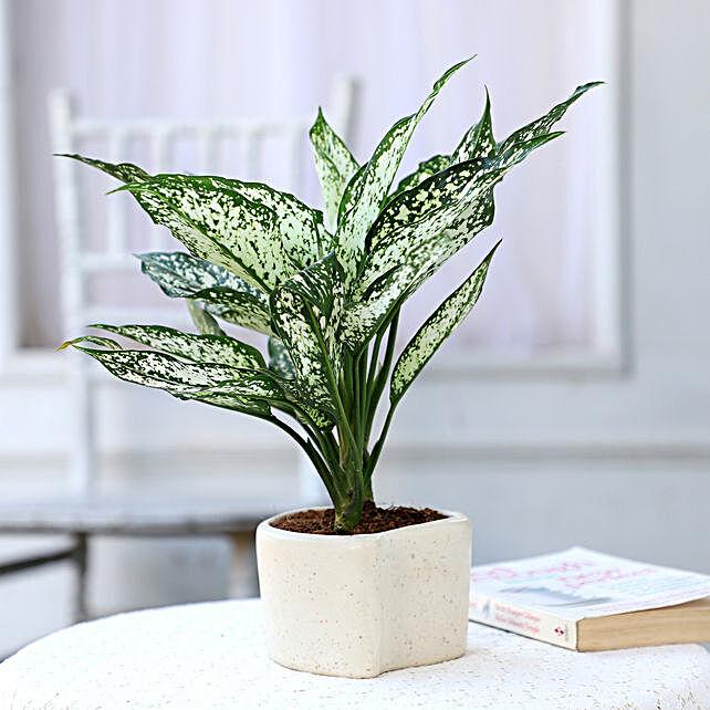 Online Aglaonema Plant