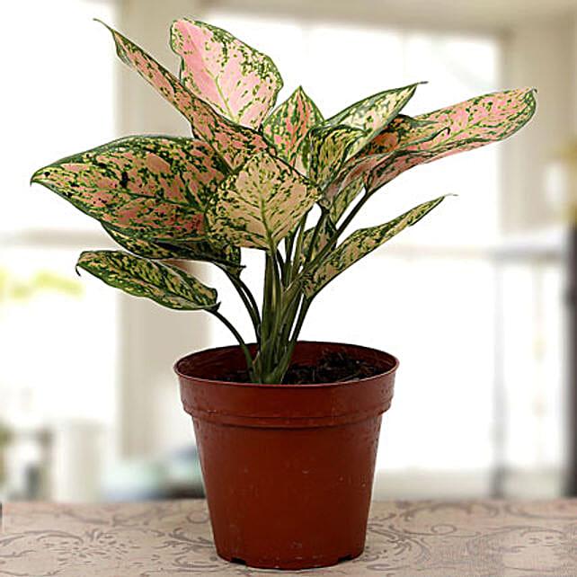 plant-Agla1ma plant