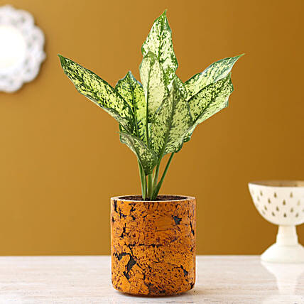 Aglaonema Silver Plant In Pipe Shaped Cork Pot