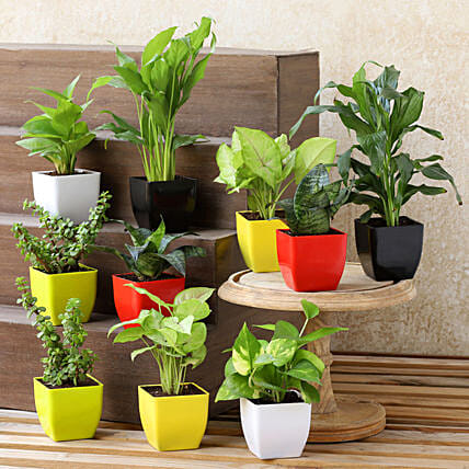 Air Purifying Plants- Set Of 10:Plants Delivery