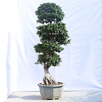 Online Outdoor Bonsai Plant