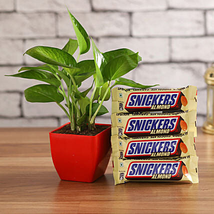 Snickers Combo with Money Plant