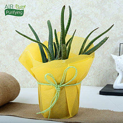 Aloe vera plant in a plastic pot wrapped with yellow paper