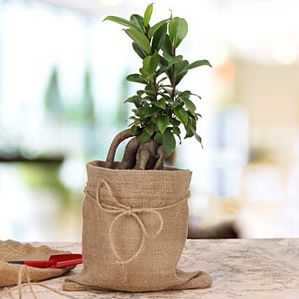 Ficus microcarpa plant in a pot