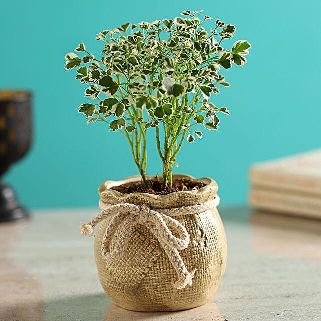 Aralia Plant In Mataki Pot