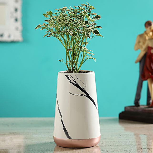 Aralia Plant In White Ceramic Shaded Pot