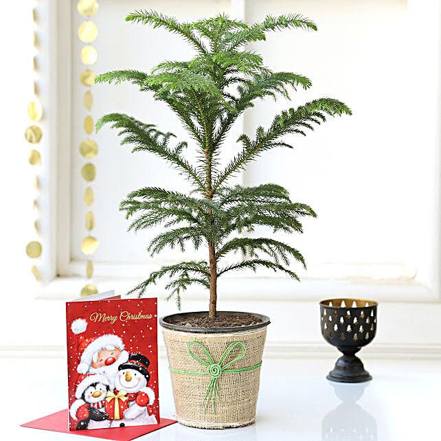 Araucaria Plant Online:Buy Christmas Tree