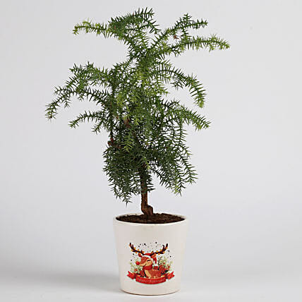 araucaria plant in ceramic pot for Christmas