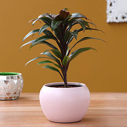 Baby Cordyline Plant In Pretty Pink Metal Pot
