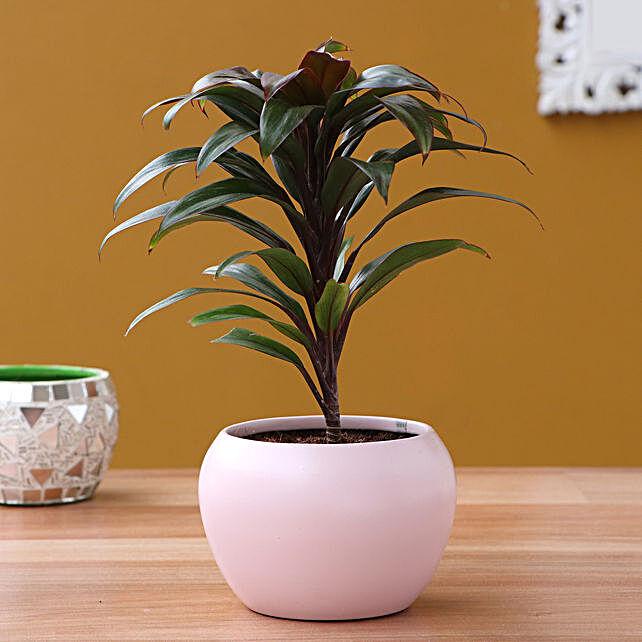 Baby Cordyline Plant In Pretty Pink Metal Pot