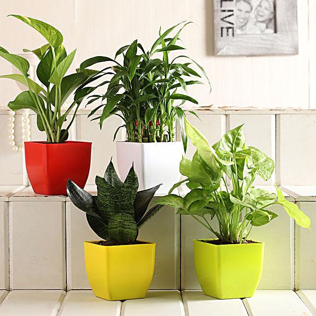 Bamboo Sansevieria Syngonium Money Plant Set