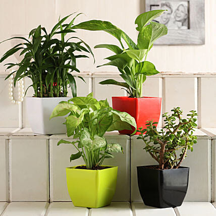 Buy Plant Set:Same Day Gifts Delivery