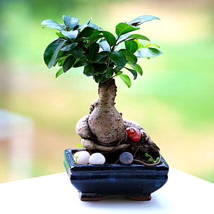 A Ficus Microcarpa plant in a pot