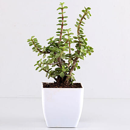 Beautiful Jade Plant in White Plastic Pot