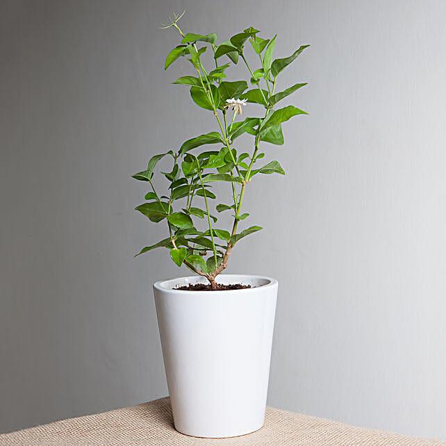Jasmine plant in a vase