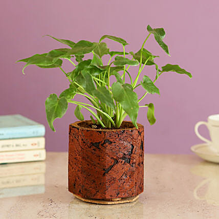 Foliage Plant In Cork Pot Online
