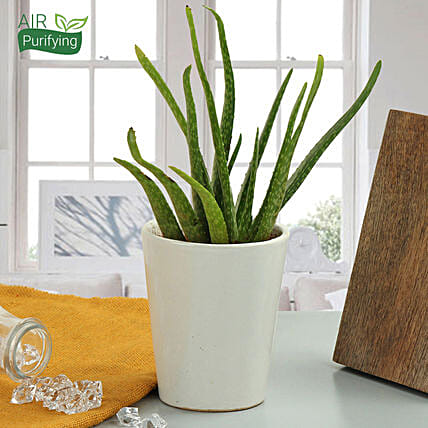 Aloe vera plant in a vase:Gifts for Aquarians