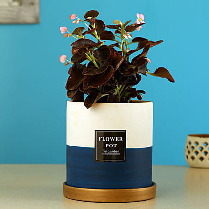 Begonia Plant In Ceramic Pot With Golden Plate
