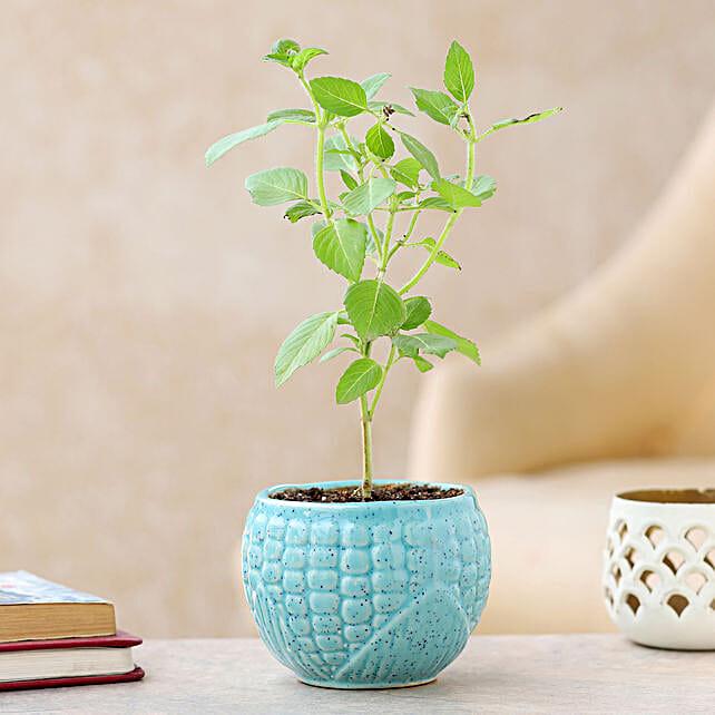 Online Bhringraj Plant with Planter
