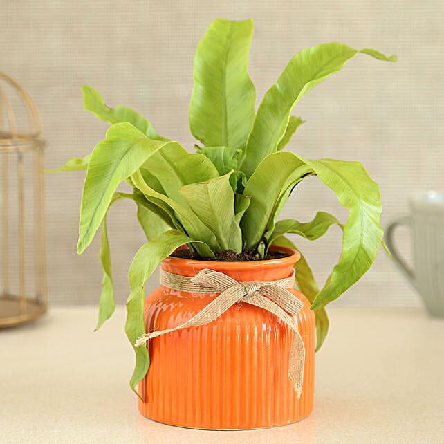 Bird Nest Fern Plant In Orange Ceramic Pot