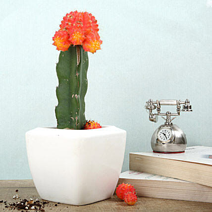 Hybrid moon cactus plant in a white ceramic square vase