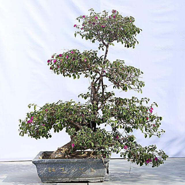 Beautiful Bonsai Plant with Planter