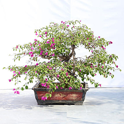 Colourful Bonsai Plant Online