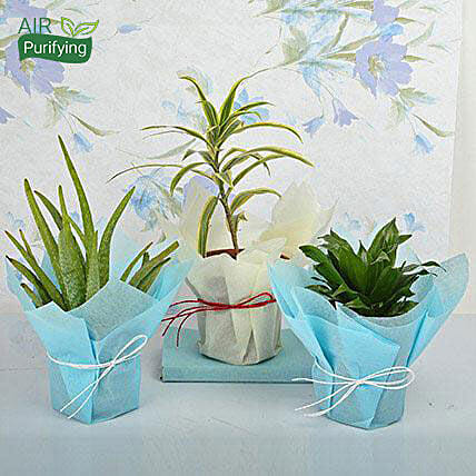 Aloe vera, song of india and Dracaena plants in plastic pots