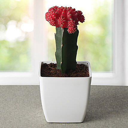 Moon cactus plant in a red plastic vase:Flowering Plants