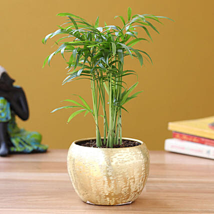 Chamaedorea Plant in Home Décor Pot