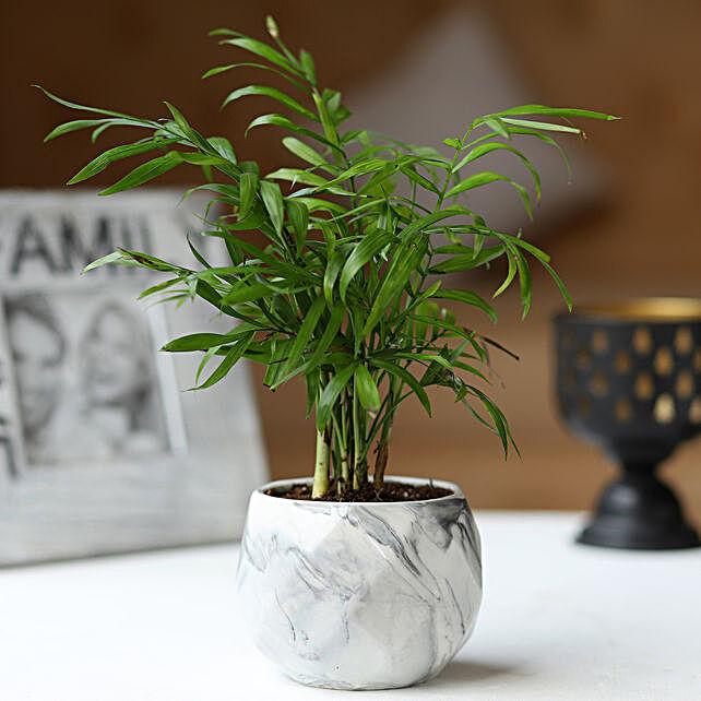 Chamaedorea Palm in Ceramic Pot
