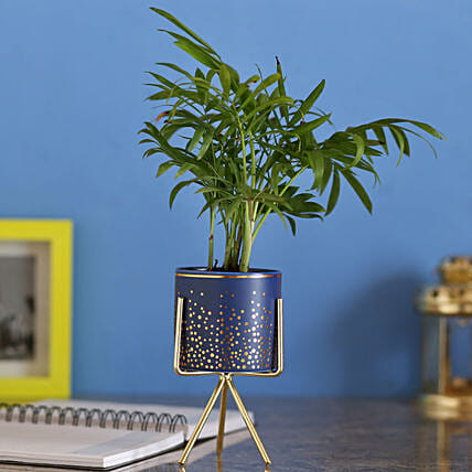Chamaedorea Plant In Blue Ceramic Pot