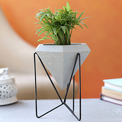 Chamaedorea Plant In Grey Conical Planter