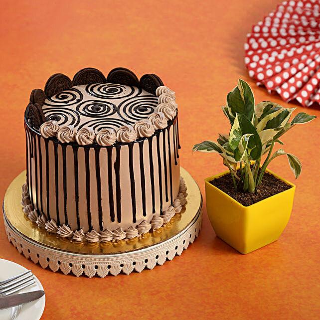 Chocolate Oreo Cake White Pothos Plant Combo