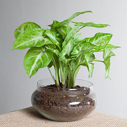Syngonium golden plant  in a round glass potpourrie vase:Terrariums Plants