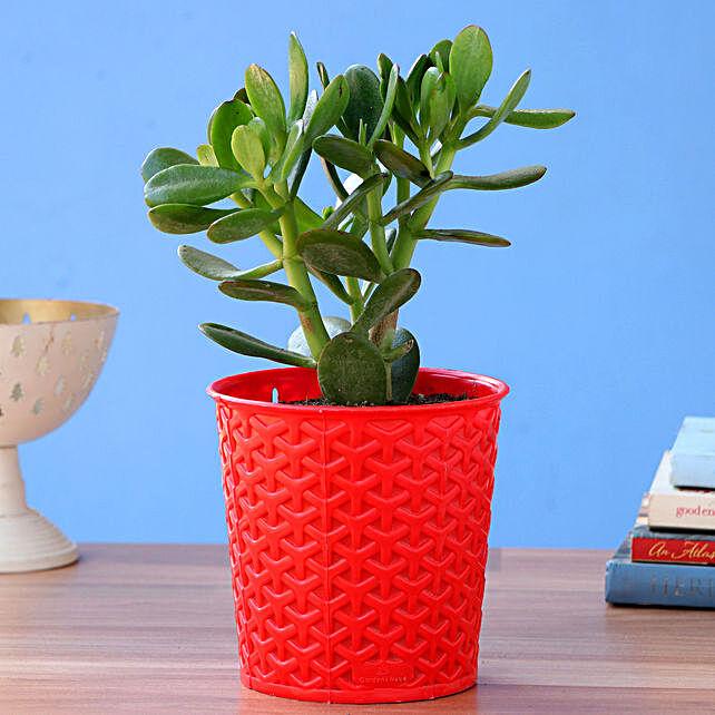 Crassula Plant With Red Maryram Plastic Pot