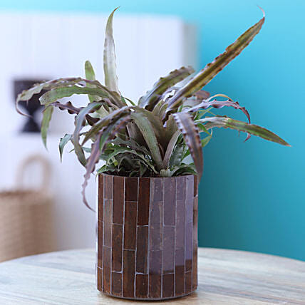 Cryptanthus Plant In Mosaic Planter:Flowering Plants