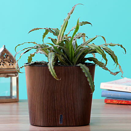 Crypthensus Plant Gift in Self-watering Pot