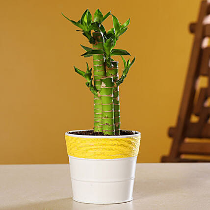 Cut Leaf Bamboo Plant In Coated Yellow Pot
