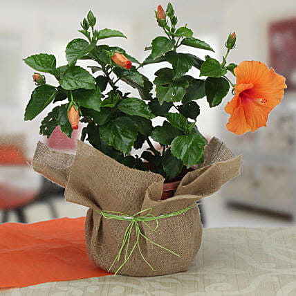 Orange hibiscus plant in a vase