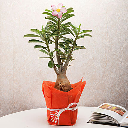 Adenium plant in a vase:Home Decor Anniversary Gifts