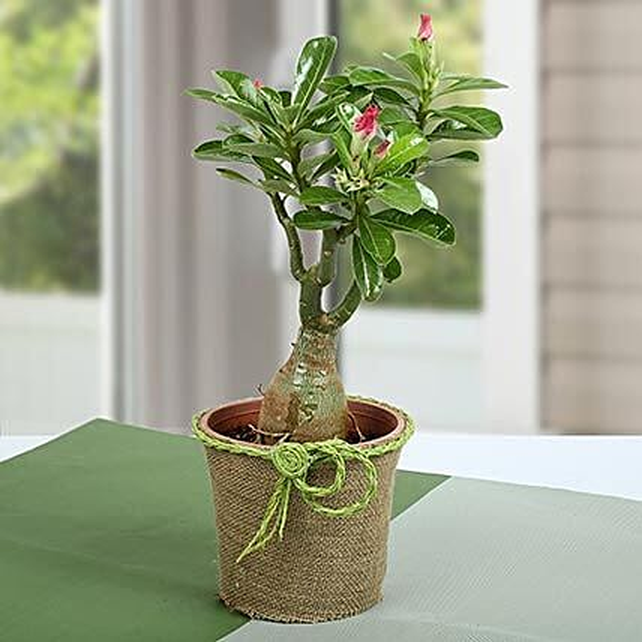 Desert Rose Plant:Flowering Plants