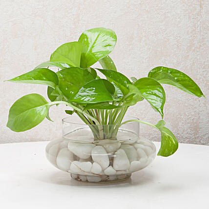 Money plant in a round glass potpourri vase with white pebbles:Foliage Plants